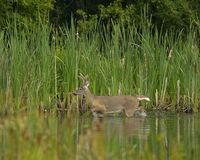 Whitetail deer buck in velvet. A Whitetail buck wadding in a small lake with reeds and cattails in the background in late summer. This deer is shedding his Royalty Free Stock Image