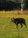 Whitetail Buck Walking Stock Images
