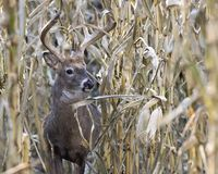 Whitetail buck walking through corn field royalty free stock photography