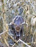 Whitetail buck walking through corn field royalty free stock photo