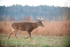 Whitetail buck walking through field Royalty Free Stock Photography