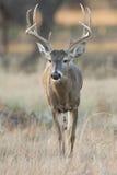 Whitetail Buck Walking in mot framdel Arkivbilder