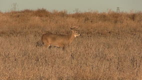 Whitetail Buck Walking Royalty Free Stock Image