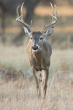 Whitetail Buck Walking towards front. Big eight point whitetail buck walking forward in vertical shot Stock Images