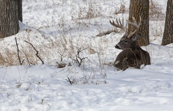 Whitetail buck. White-tailed deer buck in rut, resting, lying in the snow alert royalty free stock photo