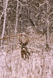 Whitetail Buck in Winter Stock Images