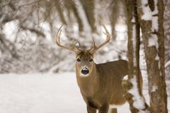 Whitetail Buck in the Winter Snow. Nice close-up photo of an 8 point, North American whitetail buck in the snow Royalty Free Stock Image