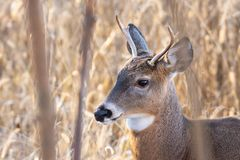 Whitetail Buck In The Woods. A whitetail buck in the woods royalty free stock photo