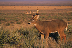 Whitetail Buck in Yucca. A whitetail buck standing broadside in  a patch of yucca Royalty Free Stock Images