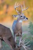 Whitetail bucks το φθινόπωρο Στοκ Φωτογραφίες