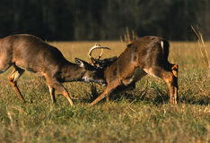 Whitetail Bucks Fighting. Two whitetail bucks fight for dominance during the fall rut Royalty Free Stock Photography