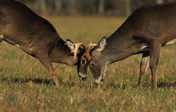 Whitetail bucks fighting Royalty Free Stock Image