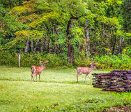 Whitetail Bucks. A seven and eight point buck graze in Cades Cove. Great Smoky Mountains National Park. Gatlinburg, Tennessee Stock Image