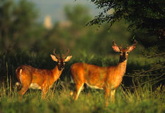 Whitetail Bucks in velvet Royalty Free Stock Images