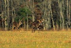Whitetail Bucks Walking Across Meadow Stock Photo