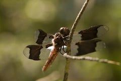 Whitetail cedzakowy dragonfly - Plathemis lydia Fotografia Stock