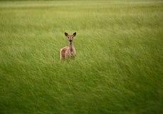 Whitetail-Damhirschkuh im Sumpf Lizenzfreie Stockfotografie