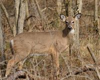 Whitetail Dee Doe Stock Images