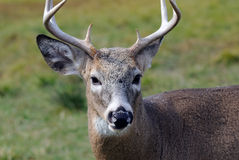 Whitetail deer. Portrait of a nice young whitetail buck Stock Images