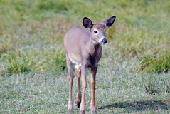 Whitetail deer. A young whitetail deer walking in a field Stock Photos