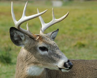 Whitetail deer. Portrait of a nice young whitetail buck Royalty Free Stock Photos