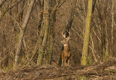Whitetail Deer. A nice whitetail deer buck on a ridge stock image