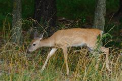 Whitetail Deer 2 Stock Images