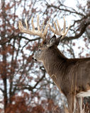 Whitetail deer Stock Photos