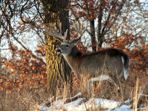 Whitetail deer. Big, trophy whitetail deer buck, standing profile in the morning sun. Numerous other images of this deer can be seen in my portfolio stock photo