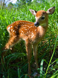 Whitetail deer. In tall grass waiting for his mother to return Stock Images