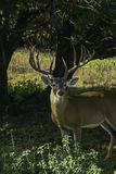 Whitetail Deer. A whitetail deer on alert royalty free stock image