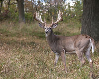 Whitetail deer. Trophy whitetail buck deer profiled.  Antlers show velvet mostly rubbed off.  Some, however, remains.  Rutting behavior.  Late summer in Royalty Free Stock Photo