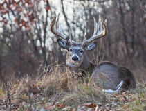 Whitetail deer. Trophy Whitetail deer buck, lays down and rests atop a hillside. November in Wisconsin royalty free stock photos