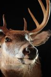 Whitetail Deer. Head shot of a buck whitetail deer Stock Photo
