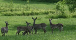 Whitetail deer 5. A herd of whitetail deer graze in a lush green field Royalty Free Stock Photo