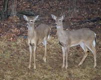 Whitetail deer. A pair of whitetail deer coming out of the forest stock photo