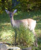 Whitetail deer. Whitetail doe at the edge of a forest on grass royalty free stock photos