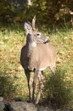 Whitetail deer. Near a forest edge in fall royalty free stock photos