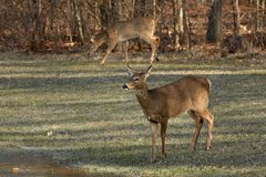 Whitetail Deer Stock Photo