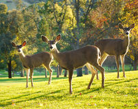 Whitetail Deer in afternoon sun. Three deer being alert and watching out for danger. Green grass on the ground large trees out of focus in the back Royalty Free Stock Photos