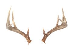 Whitetail Deer Antlers. Isolated Whitetail Deer Antlers Isolated on white ready to put on any animal you like royalty free stock photos
