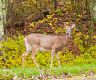 Whitetail deer in autumn forest Royalty Free Stock Images