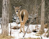 Whitetail Deer Back End Royalty Free Stock Images