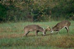 Whitetail deer battling Royalty Free Stock Photo