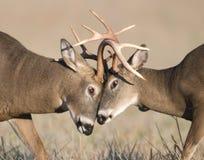 Whitetail deer battling stock images
