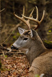 Whitetail Deer Buck Bedded During Rut Royalty Free Stock Images