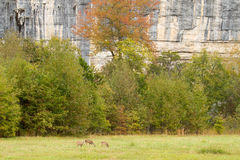Whitetail deer browsing in green field. Near river bluff scenic area stock image