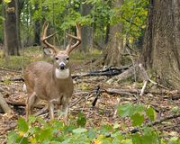 Whitetail Deer Buck. A whitetail deer buck standing in the woods at the beginning of the rutting season Stock Photography