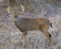 Whitetail Deer Buck. Large whitetail deer buck standing in an open field Royalty Free Stock Photography