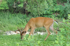 Whitetail Deer Buck Stock Photos